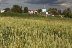 Поле зеленого колоска рож и пшеницы Стоковые Фото