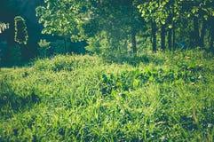 Поле зеленой травы в парке лета на заходе солнца Стоковые Фотографии RF