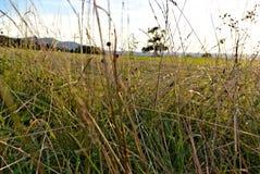 Поле зеленой травы с съемкой макроса пшеницы стоковое изображение