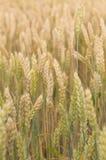 Поле зерна в Хорватии Стоковые Фото