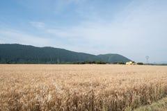 Поле зерна на переднем плане в Провансали с зернокомбайном в ба Стоковое Изображение RF