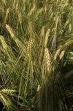 Поле золота пшеницы Стоковое фото RF