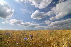 поле золотистое Стоковое Изображение