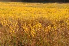 поле золотистое Стоковые Изображения