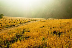 поле золотистое Стоковое Изображение RF