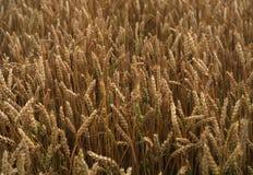 Поле золотой пшеницы Стоковое Изображение RF