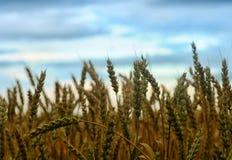 Поле золотой пшеницы Стоковая Фотография RF