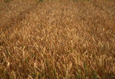 Поле золотой пшеницы Стоковая Фотография