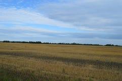 Поле зрея пшеницы стоковое фото rf