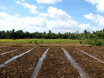 поле Индонесия урожая стоковая фотография