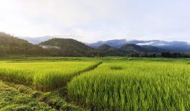 поле и гора риса Стоковое Фото