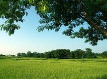 Поле и деревья риса Стоковое Изображение