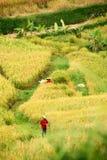 Поле и работники риса Jatiluwih стоковое изображение rf