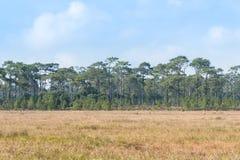 Поле и сосновый лес травы саванны на национальном парке Phukradung Стоковые Изображения