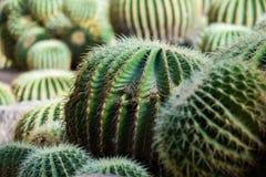 Поле кактуса зеленого цвета выборочного фокуса стоковые изображения