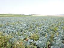 Поле капусты - агробизнес стоковые изображения rf