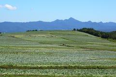 поле капусты Стоковые Изображения RF
