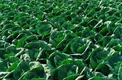поле капусты Стоковые Фотографии RF