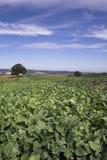 поле капусты Стоковое Изображение