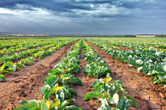 поле капусты Стоковое Изображение RF