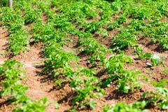 Поле картошки, картошки растя в строках в саде стоковое изображение