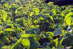 Поле картошки с зелеными всходами картошек стоковые изображения rf