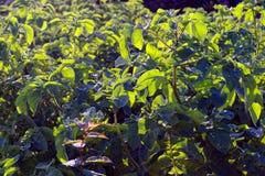 Поле картошки с зелеными всходами картошек стоковое фото