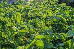Поле картошки с зелеными всходами картошек стоковое изображение