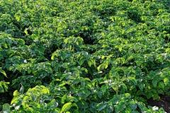 Поле картошки с зелеными всходами картошек стоковые фотографии rf