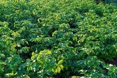 Поле картошки с зелеными всходами картошек стоковая фотография