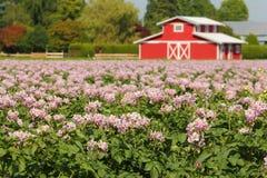 Поле картошки с цветениями Стоковое Изображение RF