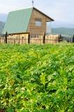 Поле картошки Стоковая Фотография RF