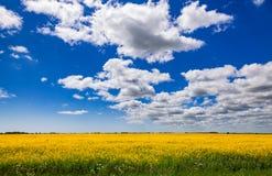 Поле Кент южная Англия Великобритания рапса семени масличной культуры лета Стоковые Фотографии RF
