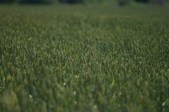 Поле конца пшеницы вверх по предпосылке стоковое изображение rf