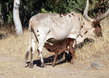 поле коровы икры подавая horned большой Стоковые Изображения
