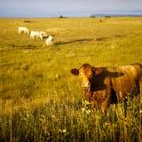 поле коровы крупного плана Стоковые Фотографии RF
