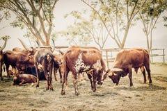 поле коровы Стоковые Изображения RF