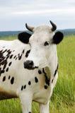 поле коровы Стоковые Фото