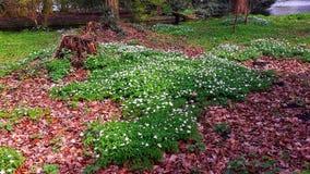 Поле красивых цветков Ornithogalum Umbellatum- 6 звезд цветка лепестка Вифлеема, белых цветков Стоковое Изображение RF
