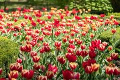 Поле красных и желтых тюльпанов стоковое фото