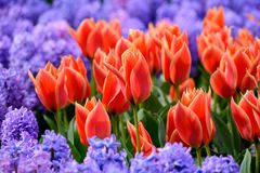Поле красочных тюльпанов в Голландии, цветков времени весны в Keukenhof стоковые изображения