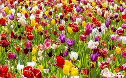 Поле красочных тюльпанов стоковая фотография rf