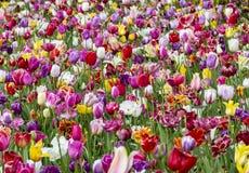 Поле красочных тюльпанов стоковое фото