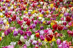 Поле красочных тюльпанов стоковое изображение rf