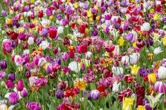 Поле красочных тюльпанов стоковые изображения