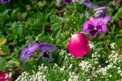 Поле красочных цветков pansy в ботаническом саде стоковая фотография rf