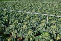поле культивируемое капустой Стоковые Фотографии RF