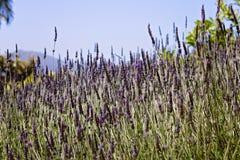 Поле лаванды в цветени в северной калифорния Стоковые Изображения