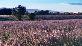 Поле лаванды в Valensole Франции с землей задней части нежности холма и голубого неба Стоковые Изображения RF