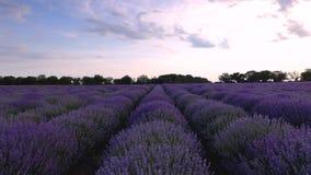 Поле лаванды и бесконечные зацветая строки, ландшафт захода солнца лета, Провансаль Франция видеоматериал